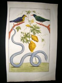 Albertus Seba C1750 Folio Hand Coloured Antique Print. Snake & Birds 3